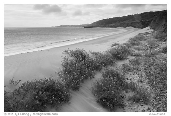 Flowers growing on sand dunes, Water Canyon Beach, Santa Rosa Island. Channel Islands National Park (black and white)