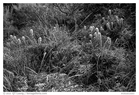 Native flowers, Lobo Canyon, Santa Rosa Island. Channel Islands National Park (black and white)