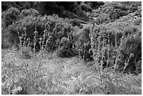 Thristles, Lobo Canyon, Santa Rosa Island. Channel Islands National Park ( black and white)