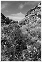 Flowers and rock formations, Lobo Canyon, Santa Rosa Island. Channel Islands National Park ( black and white)