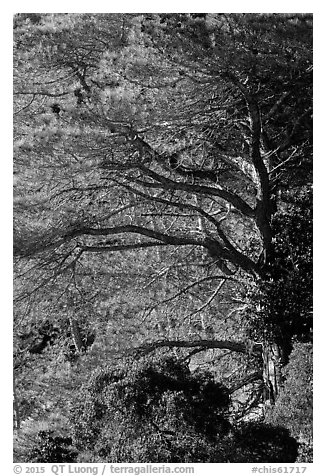 Forest of Torrey Pines, Santa Rosa Island. Channel Islands National Park (black and white)