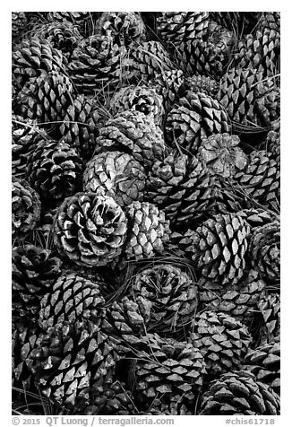 Fallen Torrey Pine cones, Santa Rosa Island. Channel Islands National Park (black and white)