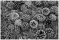 Torrey Pine cones and needles on the ground, Santa Rosa Island. Channel Islands National Park ( black and white)