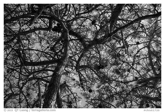 Looking up Torrey Pine, Santa Rosa Island. Channel Islands National Park (black and white)