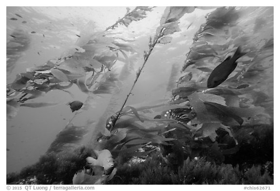 Fish and giant kelp plants, Santa Barbara Island. Channel Islands National Park (black and white)