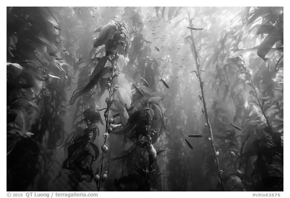 Kelp bed and fish, Santa Barbara Island. Channel Islands National Park (black and white)