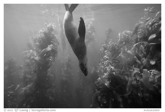 California sea lion diving in kelp forest, Santa Barbara Island. Channel Islands National Park (black and white)