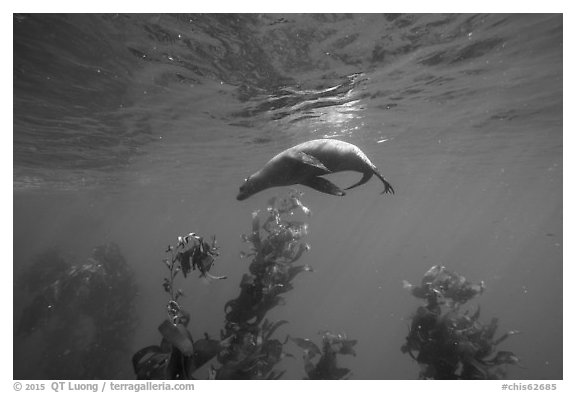 California sea lion under water surface above kelp, Santa Barbara Island. Channel Islands National Park (black and white)
