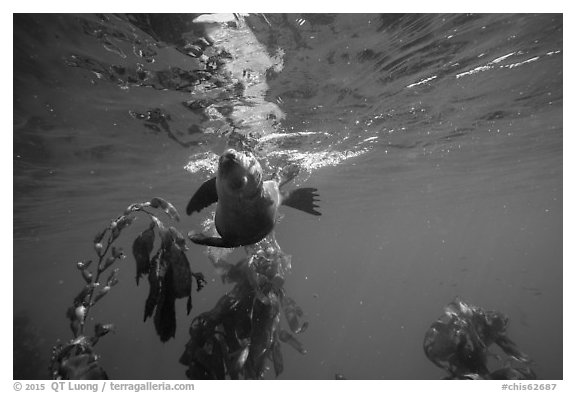 California sea lion swiming sideways, Santa Barbara Island. Channel Islands National Park (black and white)