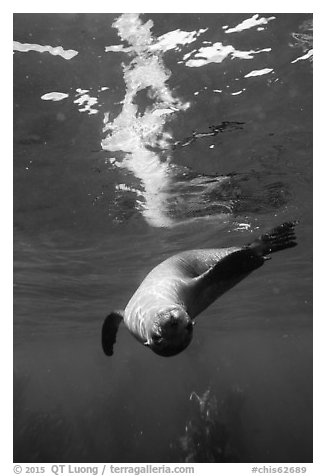 Sea lion swimming upside down with surface reflection, Santa Barbara Island. Channel Islands National Park (black and white)