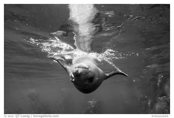Sea lion swimming upside down, Santa Barbara Island. Channel Islands National Park (black and white)