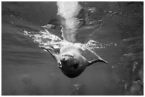 Sea lion swimming upside down, Santa Barbara Island. Channel Islands National Park ( black and white)