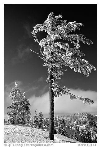 Frost-covered pine tree. Crater Lake National Park (black and white)