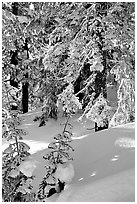 Fresh snow on sunlit branches. Crater Lake National Park, Oregon, USA. (black and white)