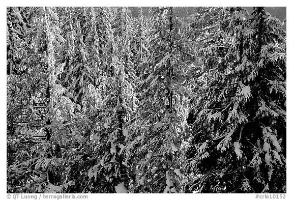 Forest with fresh snow and sunset light. Crater Lake National Park (black and white)