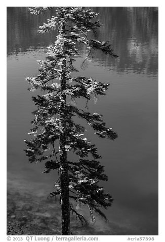Tree and transparent blue waters, Wizard Island. Crater Lake National Park (black and white)