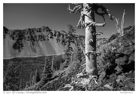Massive trunk of whitebark pine near Wizard Island summit. Crater Lake National Park (black and white)