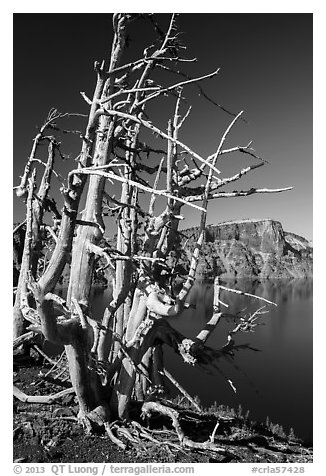 Fantastically shaped Whitebark pines, with Llao Rock in background. Crater Lake National Park (black and white)