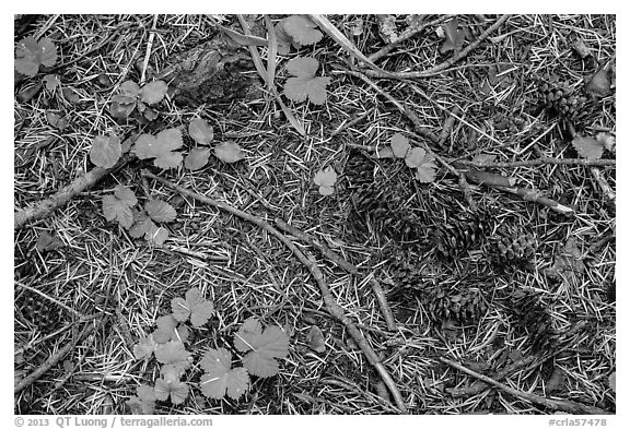 Ground view with fallen cones, needles, and leaves. Crater Lake National Park (black and white)