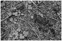 Ground view with fallen cones, needles, and leaves. Crater Lake National Park ( black and white)
