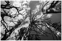 Looking up whitebark pine tree skeletons. Crater Lake National Park ( black and white)