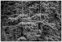 Western Hemlock forest. Crater Lake National Park ( black and white)