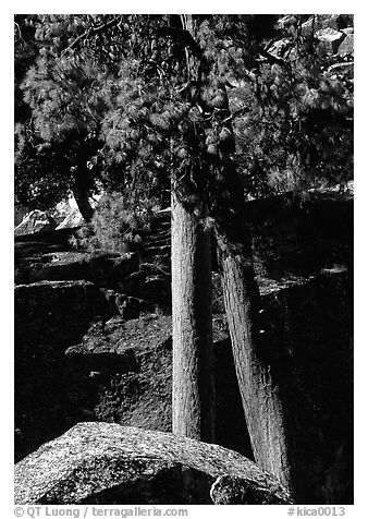 Pine trees with yellowed leaves, Cedar Grove. Kings Canyon National Park (black and white)
