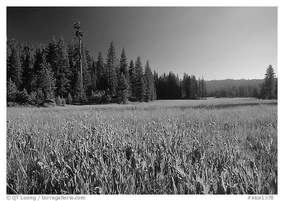 Meadow near Grant Grove, summer afternoon, Giant Sequoia National Monument near Kings Canyon National Park. California, USA (black and white)