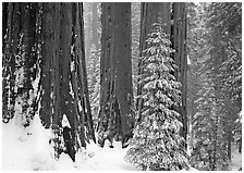 Sequoias in winter snow storm, Grant Grove. Kings Canyon National Park ( black and white)