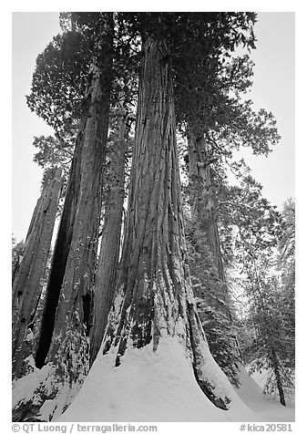 Giant Sequoia trees in winter, Grant Grove. Kings Canyon  National Park (black and white)