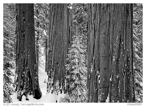 Sequoias (Sequoiadendron giganteum) and pine trees covered with fresh snow, Grant Grove. Kings Canyon National Park (black and white)