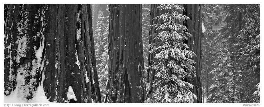 Sequoia forest in snow. Kings Canyon National Park (black and white)