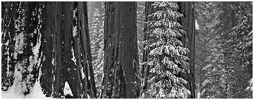 Sequoia forest in snow. Kings Canyon National Park (Panoramic black and white)