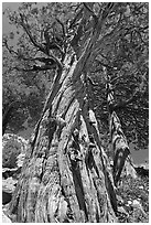 Pine tree, Le Conte Canyon. Kings Canyon National Park ( black and white)