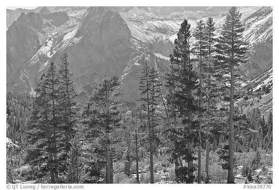 Pine trees and granite peaks. Kings Canyon National Park (black and white)
