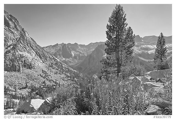 Fireweed and pine trees above Le Conte Canyon. Kings Canyon National Park (black and white)