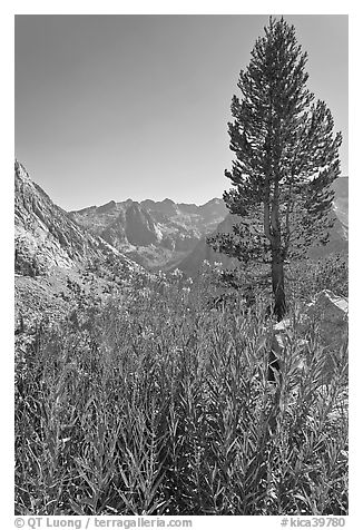 Fireweed and pine tree above Le Conte Canyon. Kings Canyon National Park (black and white)