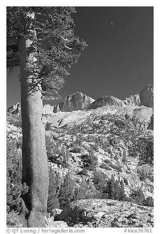 Pine tree, Mt Giraud chain, and moon, afternoon. Kings Canyon National Park (black and white)