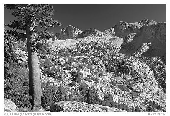Pine tree and Mt Giraud chain, Lower Dusy basin. Kings Canyon National Park (black and white)