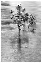 Pine sappling in middle of river. Kings Canyon National Park ( black and white)