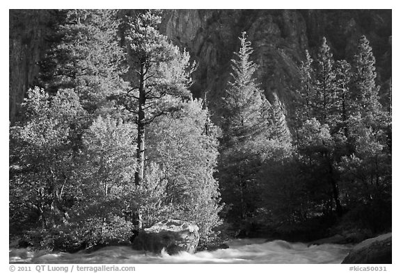 Stream and pine trees in spring. Kings Canyon National Park (black and white)