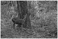 Juvenile deer. Kings Canyon National Park ( black and white)