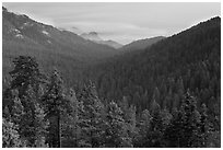 Redwood Mountain Grove, largest sequoia grove. Kings Canyon National Park ( black and white)
