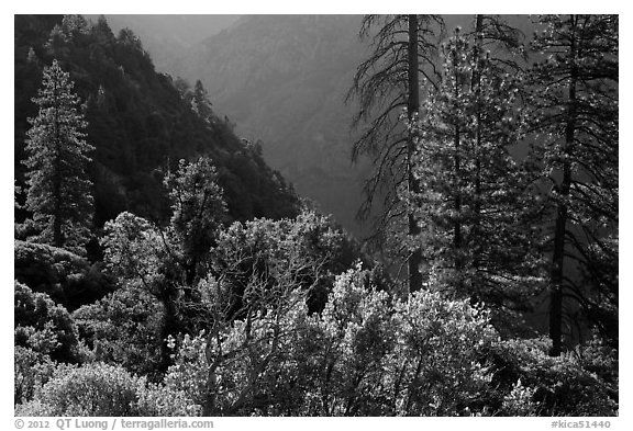 Trees on Cedar Grove valley rim. Kings Canyon National Park (black and white)
