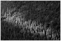 Forest on Cedar Grove valley walls. Kings Canyon National Park ( black and white)
