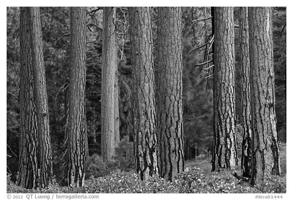 Textured trunks of Ponderosa pines. Kings Canyon National Park (black and white)