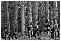 Textured trunks of Ponderosa pines. Kings Canyon National Park ( black and white)