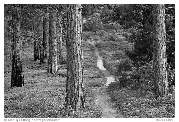 Trail in pine forest. Kings Canyon National Park (black and white)