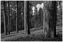 Ponderosa pine forest. Kings Canyon National Park, California, USA. (black and white)