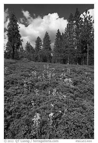 Wildflowers and pine forest. Kings Canyon National Park (black and white)